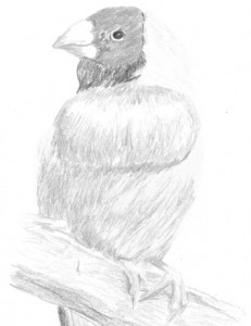 Finch - Sketch by Katherine FitzHywel